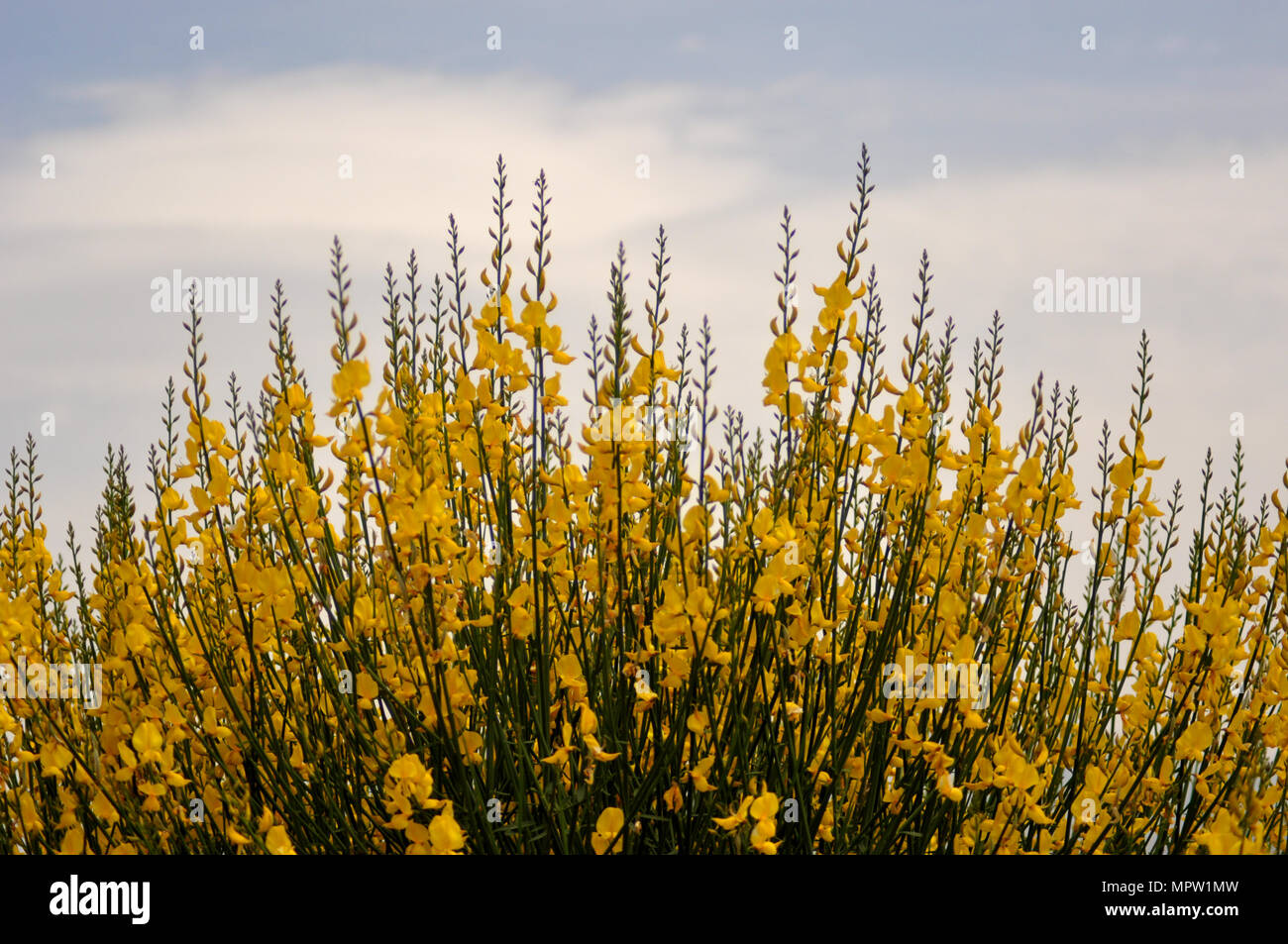 Broom bushes with yellow flowers stock photo 186176281 alamy broom bushes with yellow flowers mightylinksfo