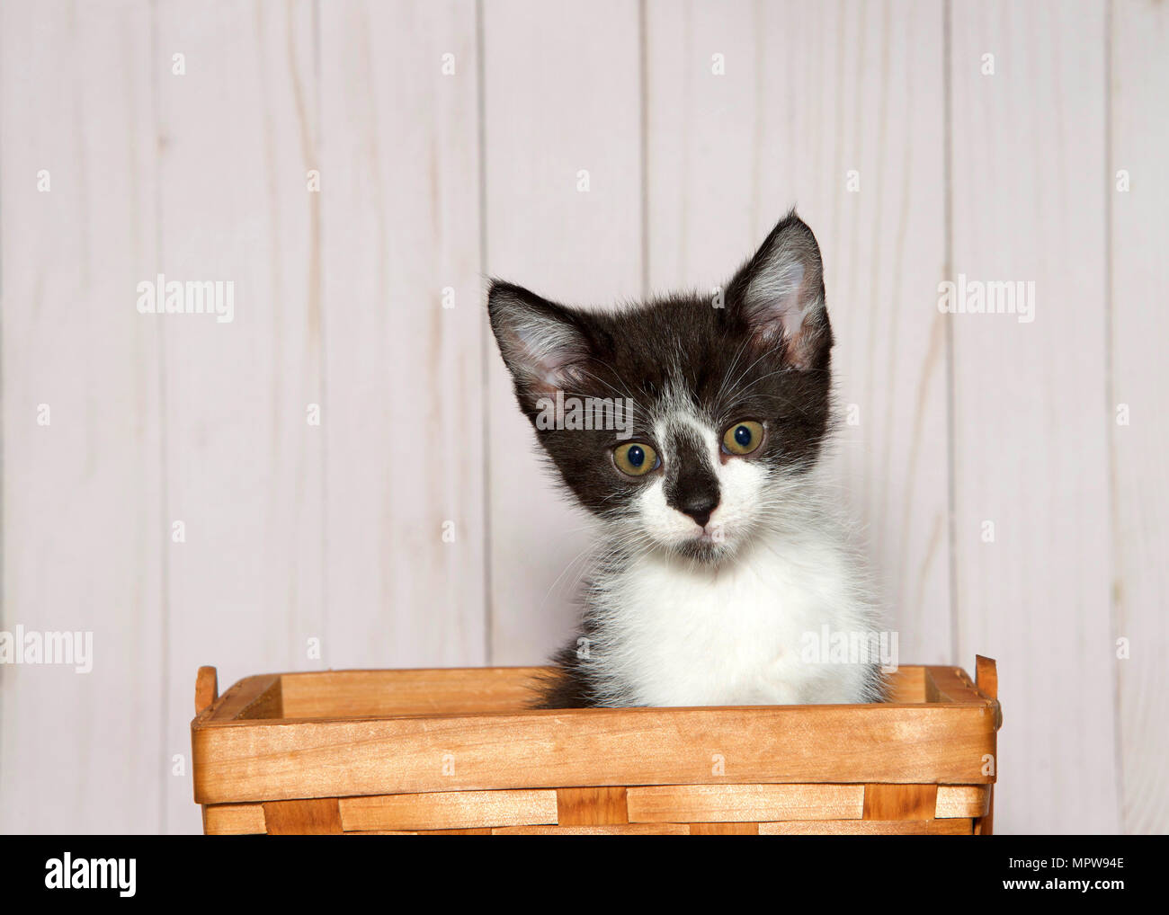 Adorable white kitten with black patches on head sitting in a wood weave basket looking at viewer. Light wood panel wall background with copy space. - Stock Image