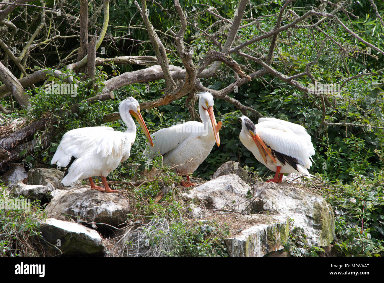 Three white pelicans with protrusions common to breeding season on their beaks, preening at the edge of a pond, old dead tree branch and leaves in bac Stock Photo