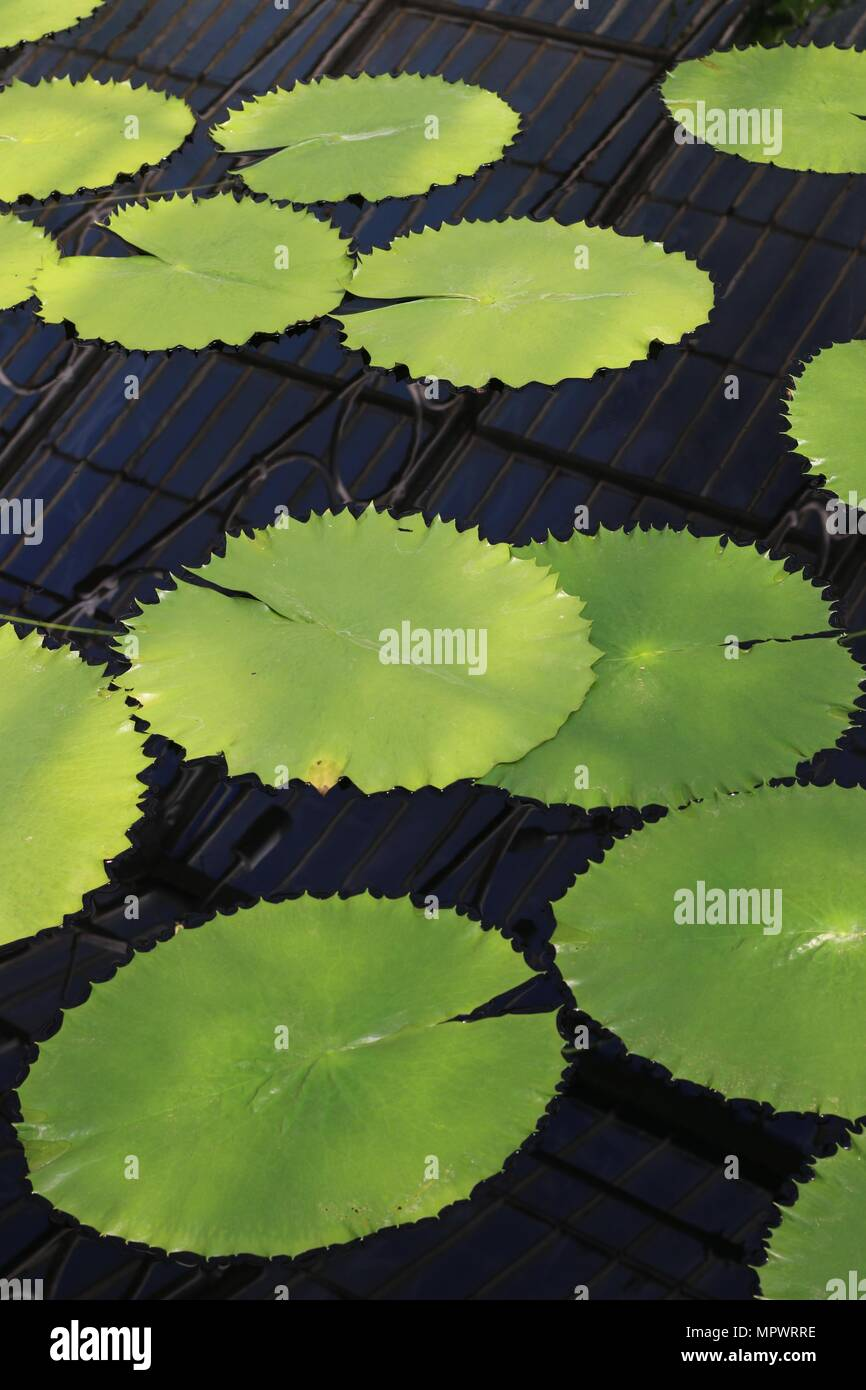 Lilypads in a pond. - Stock Image