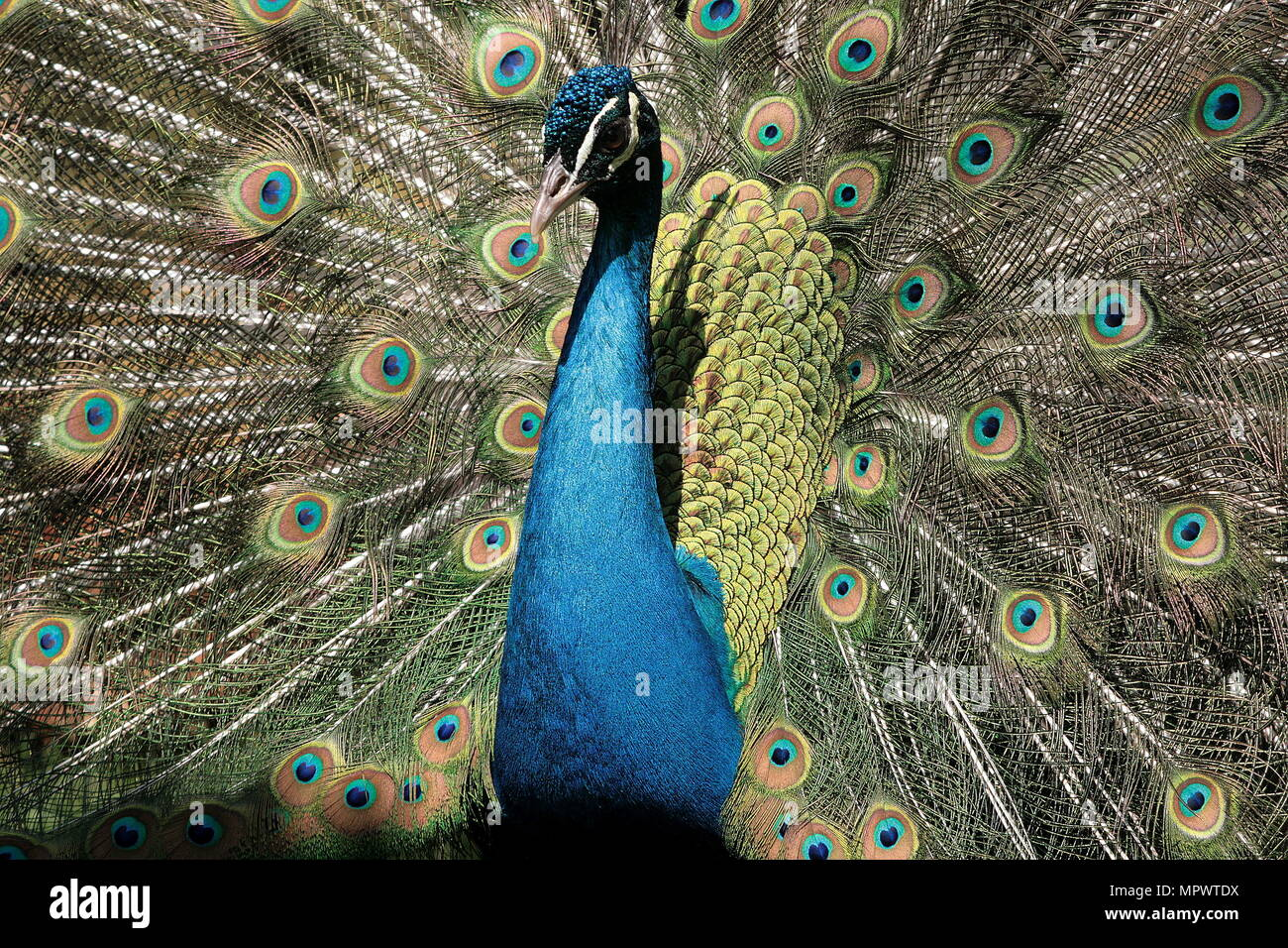Brilliant eye maze of the peacocks feathers Stock Photo