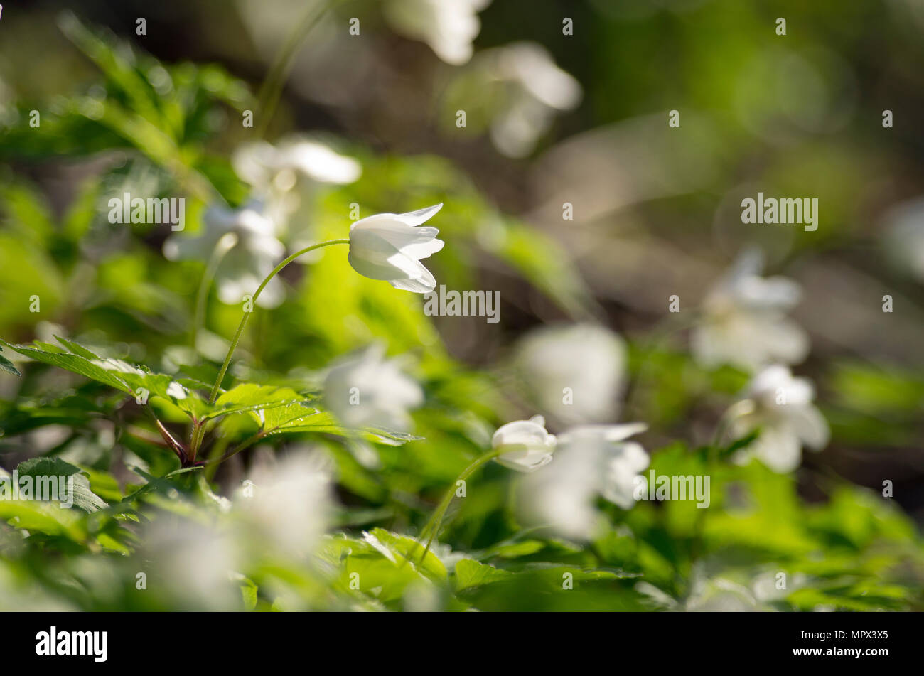 Buds of an anemony are dismissed on a meeting to the spring sun. Stock Photo
