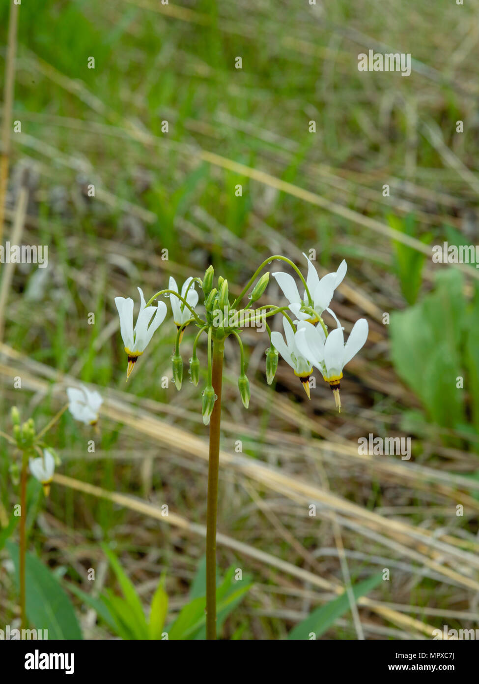 Image of Shooting Star (Dodecatheon meadia) growing in the University of Wisconsin Arboretum, Madison, Wisconsin, USA. - Stock Image