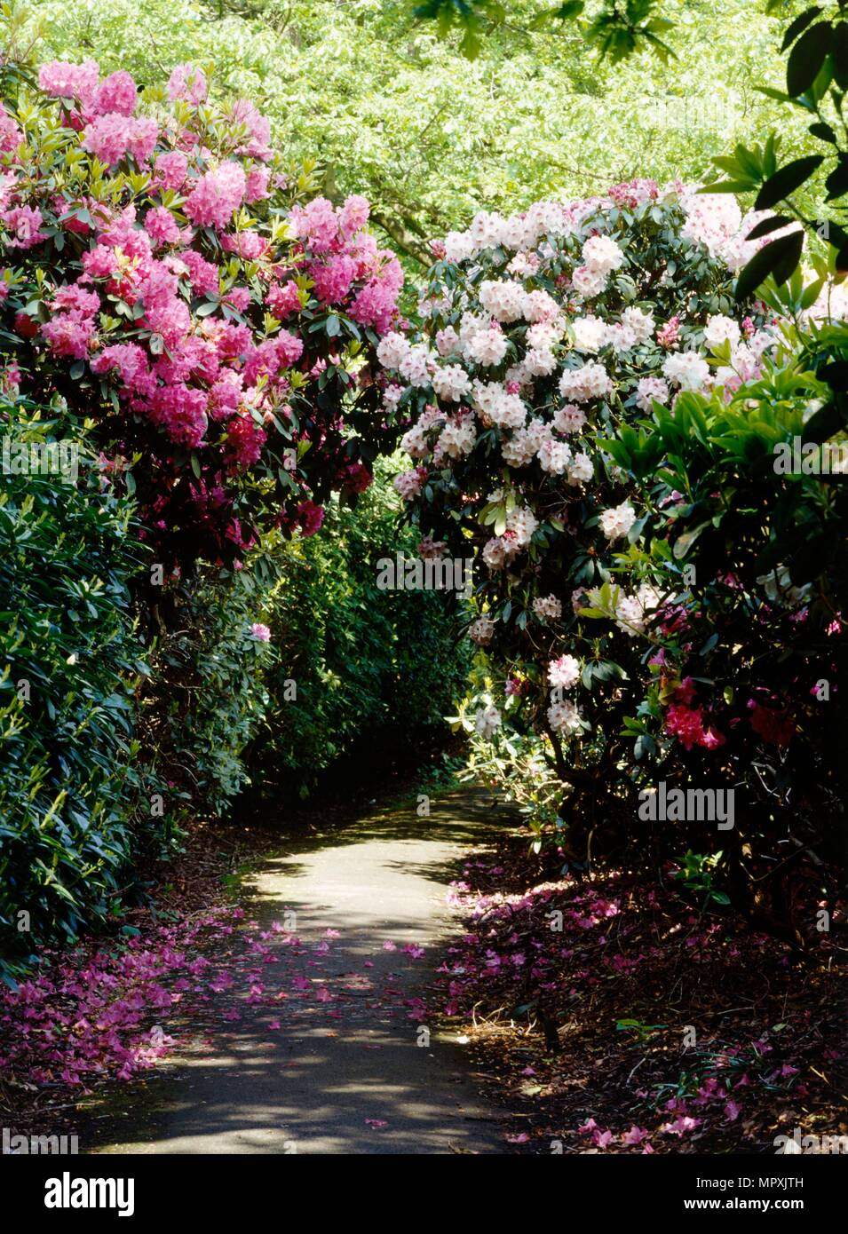 Rhododendrons lining a path in the gardens of Kenwood House, Hampstead, London, c1990-c2010. Artist: Nigel Corrie. - Stock Image
