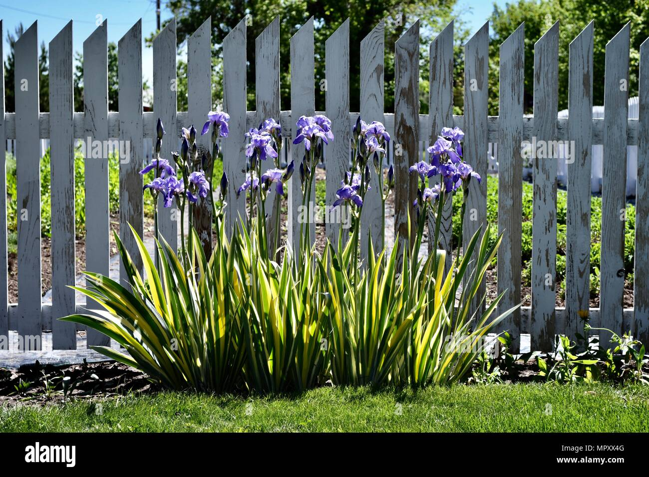 Purple irisses in front of a white picket fence - Stock Image