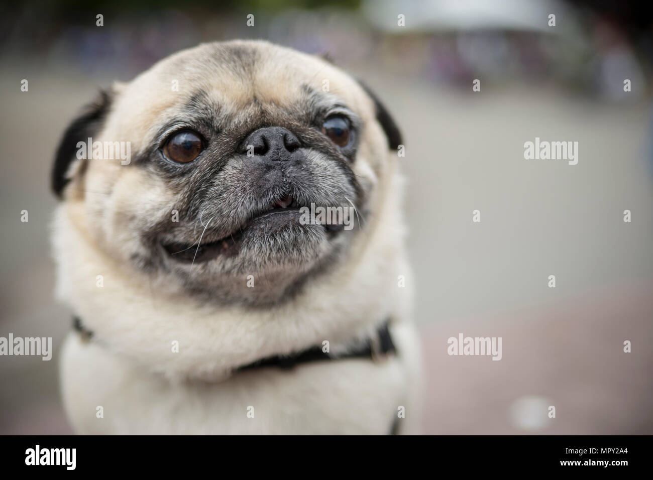 Close-up of pug looking away sitting outdoors - Stock Image