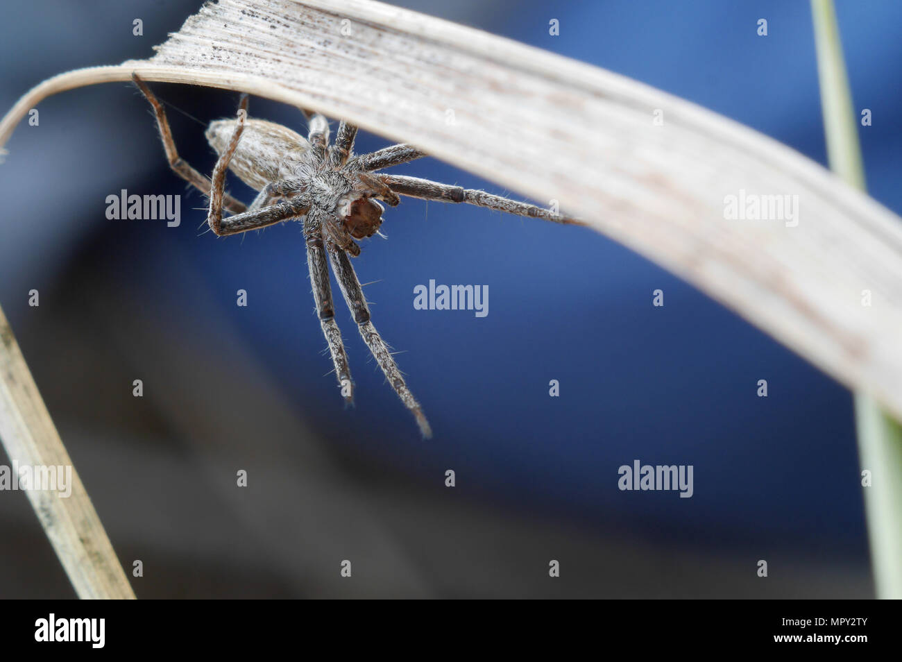 Little spider on dry grass says hello to the audience Stock Photo
