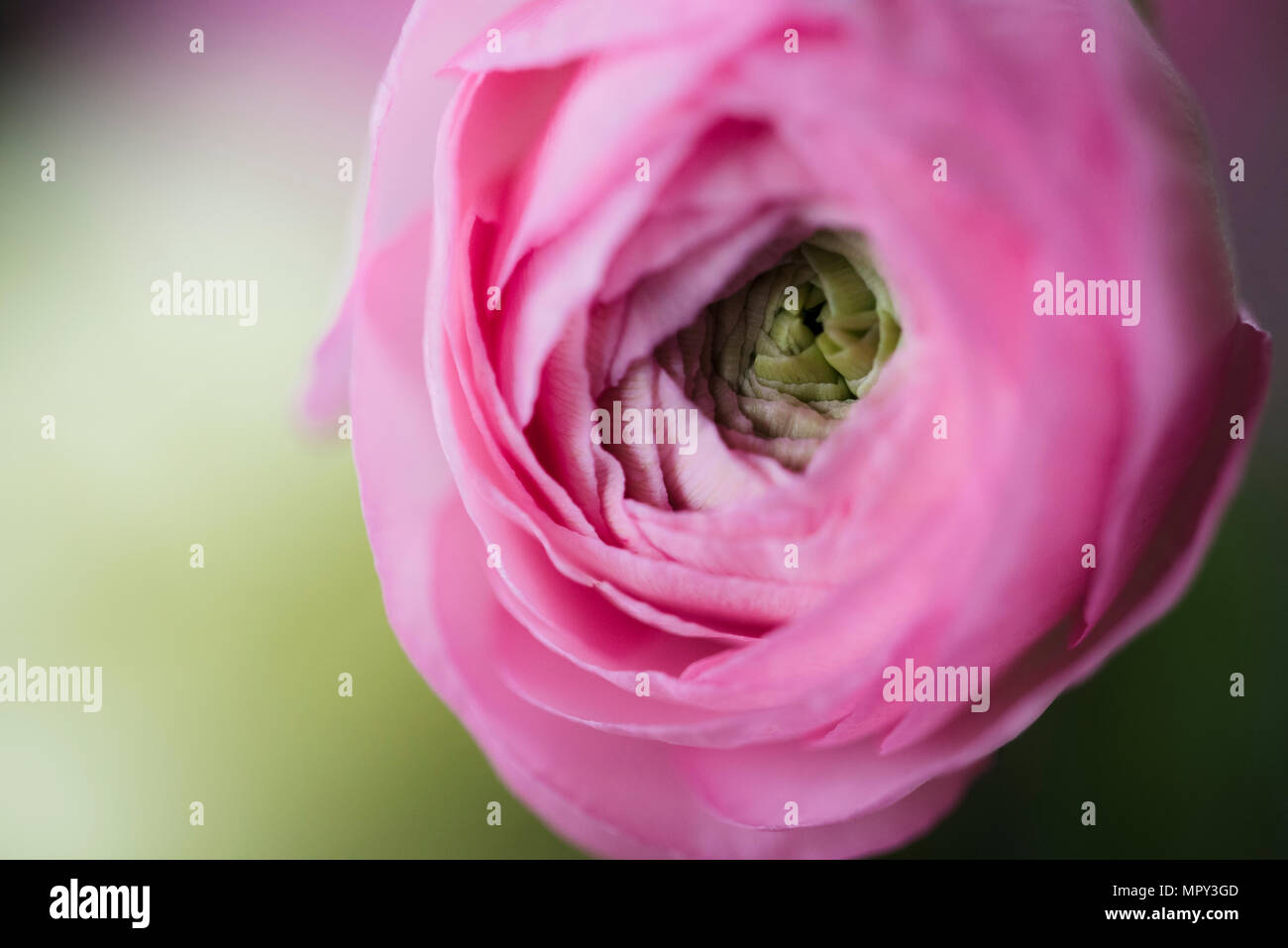 Close-up of ranunculus blooming outdoors Stock Photo