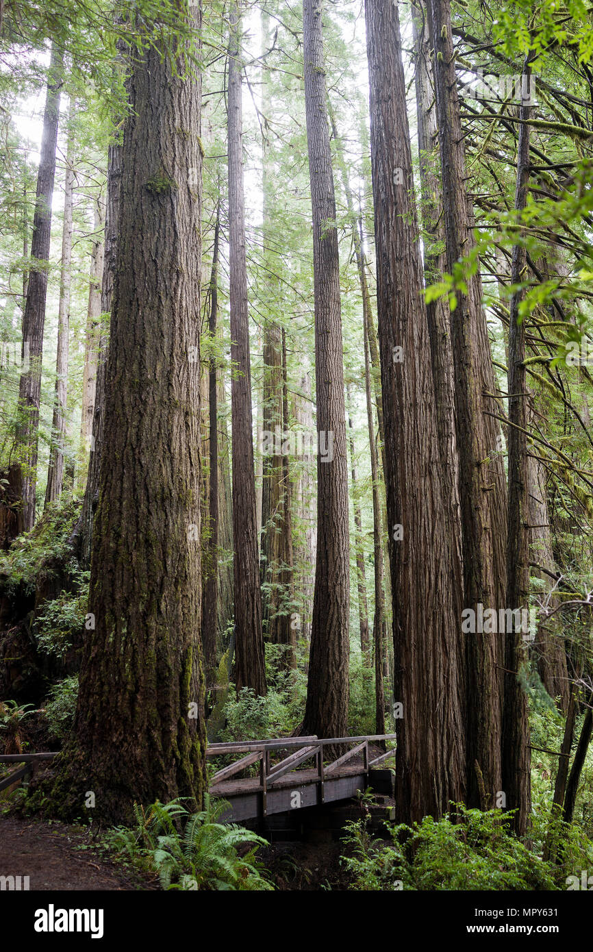 Trees growing in Redwood National and State Parks Stock Photo