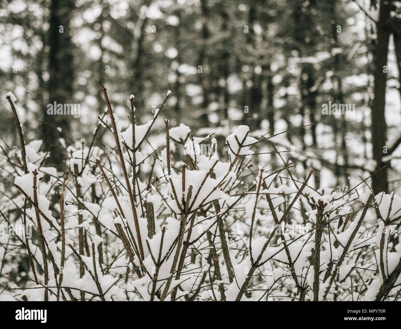 Close-up of snow covered dead plants in forest - Stock Image