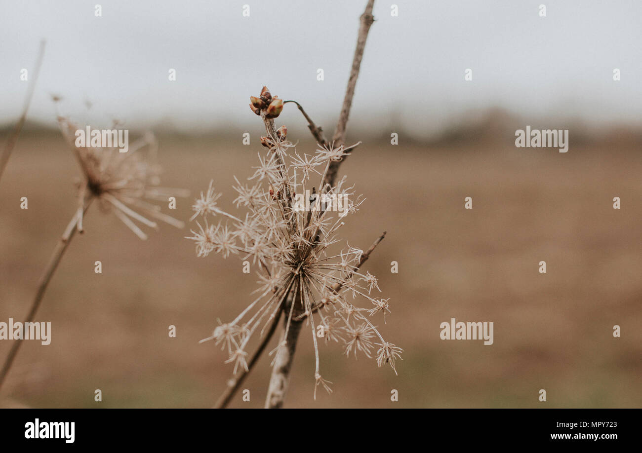 Close-up of dried plants on field - Stock Image