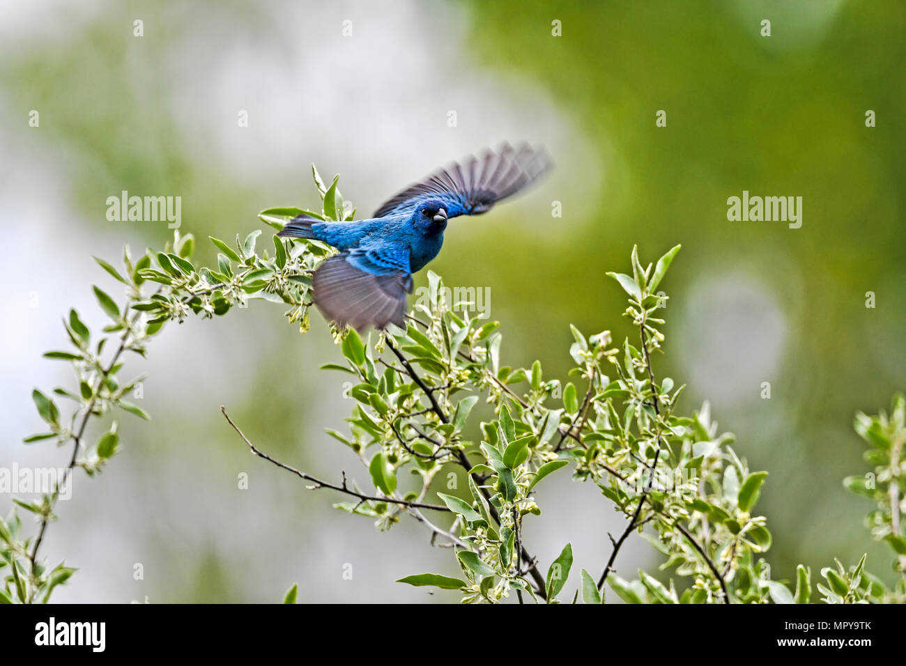 Blue bird flying over plants - Stock Image