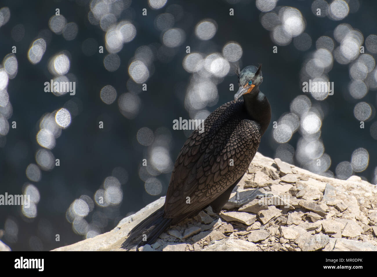 Double-crested cormorant perched on high coastal cliff - Stock Image