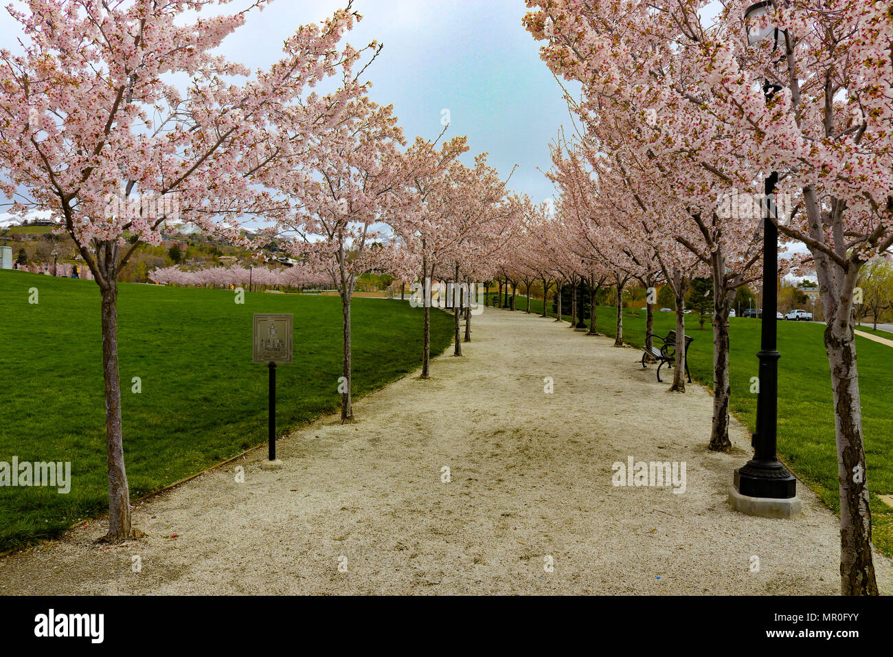 Cherry Blossom Spring Path Pink High Resolution Stock Photography And Images Alamy