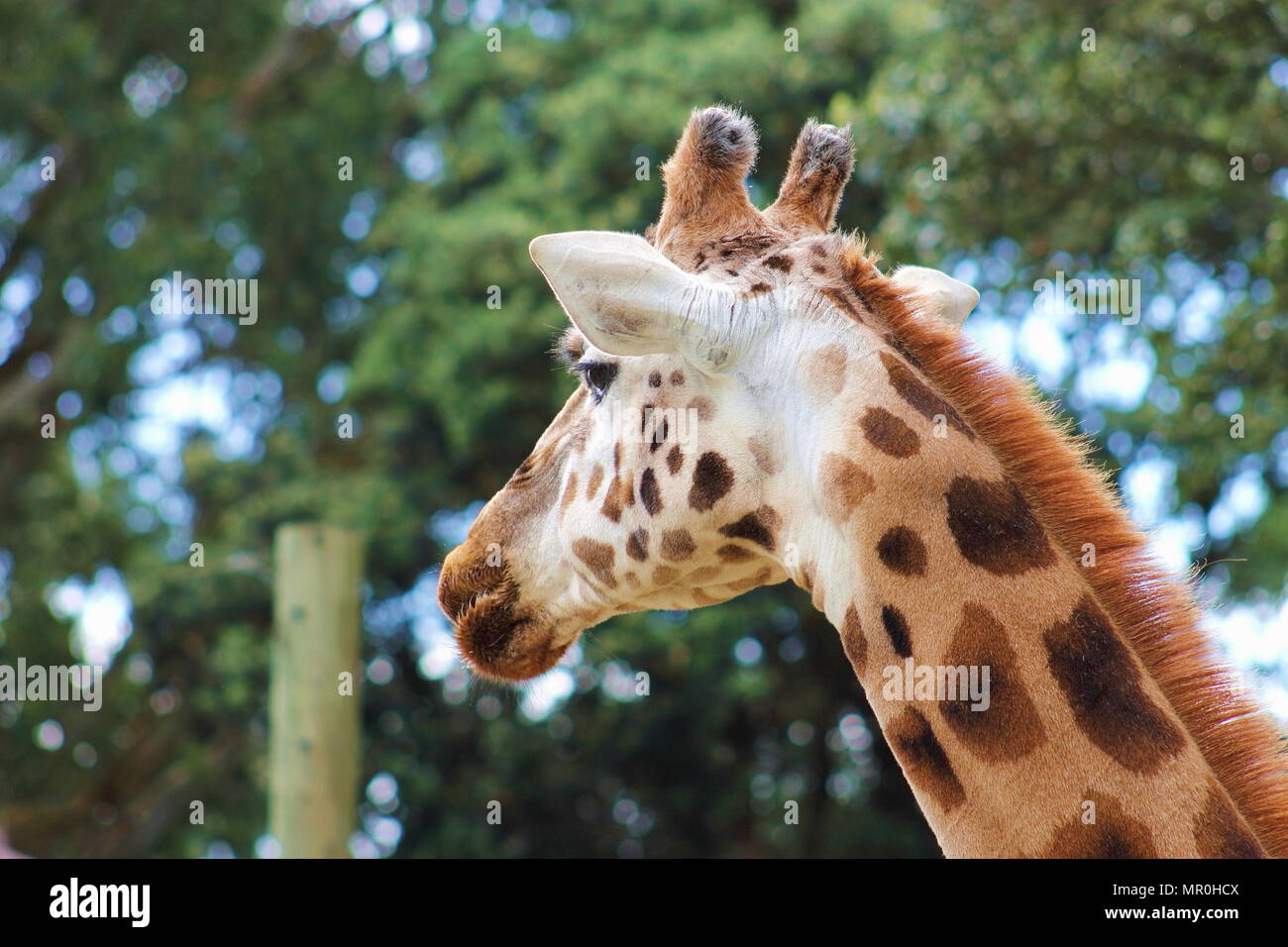 A side profile portrait of a Giraffe (Giraffa camelopardalis) - Stock Image