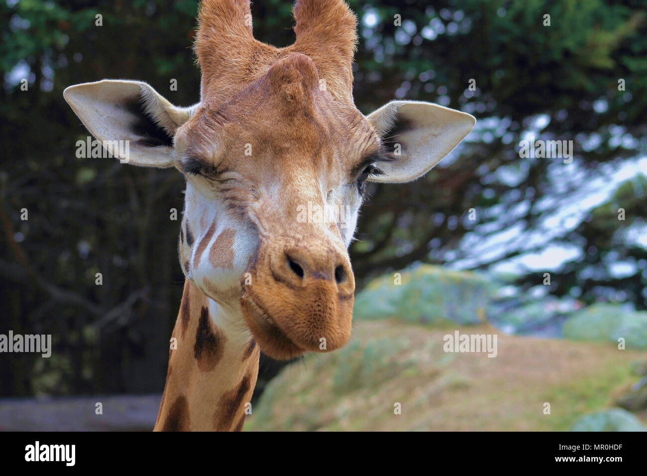 Close up of a giraffe  (Giraffa camelopardalis) winking - Stock Image