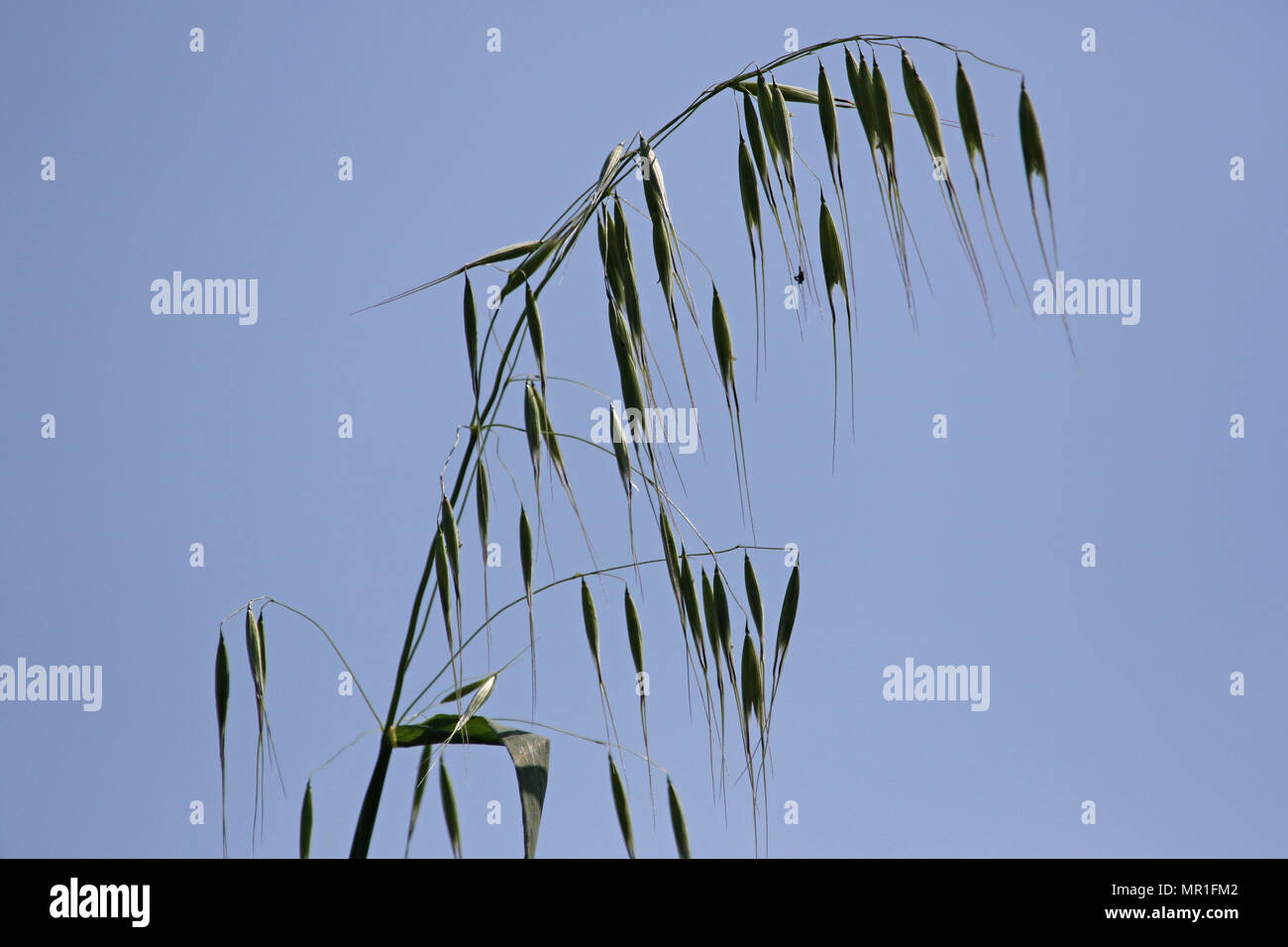 Scruffy wild oat plant with the light behind Latin name avena sterilis or sativa or fatua in Italy in springtime Stock Photo