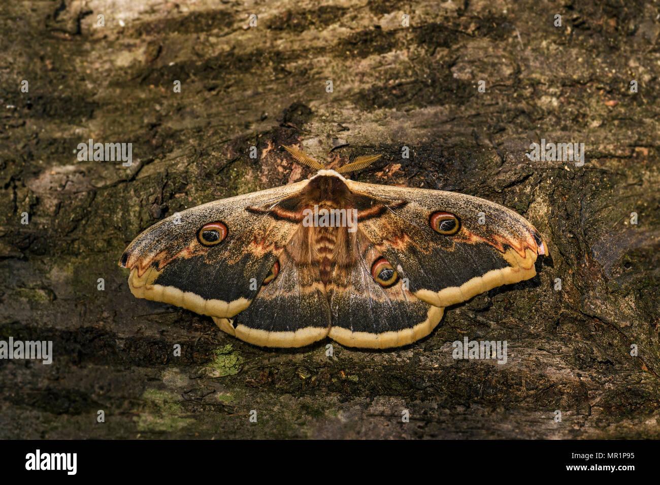 Great Peacock Moth - Saturnia pyri, beautiful large moth from Europe, Czech Republic. Stock Photo
