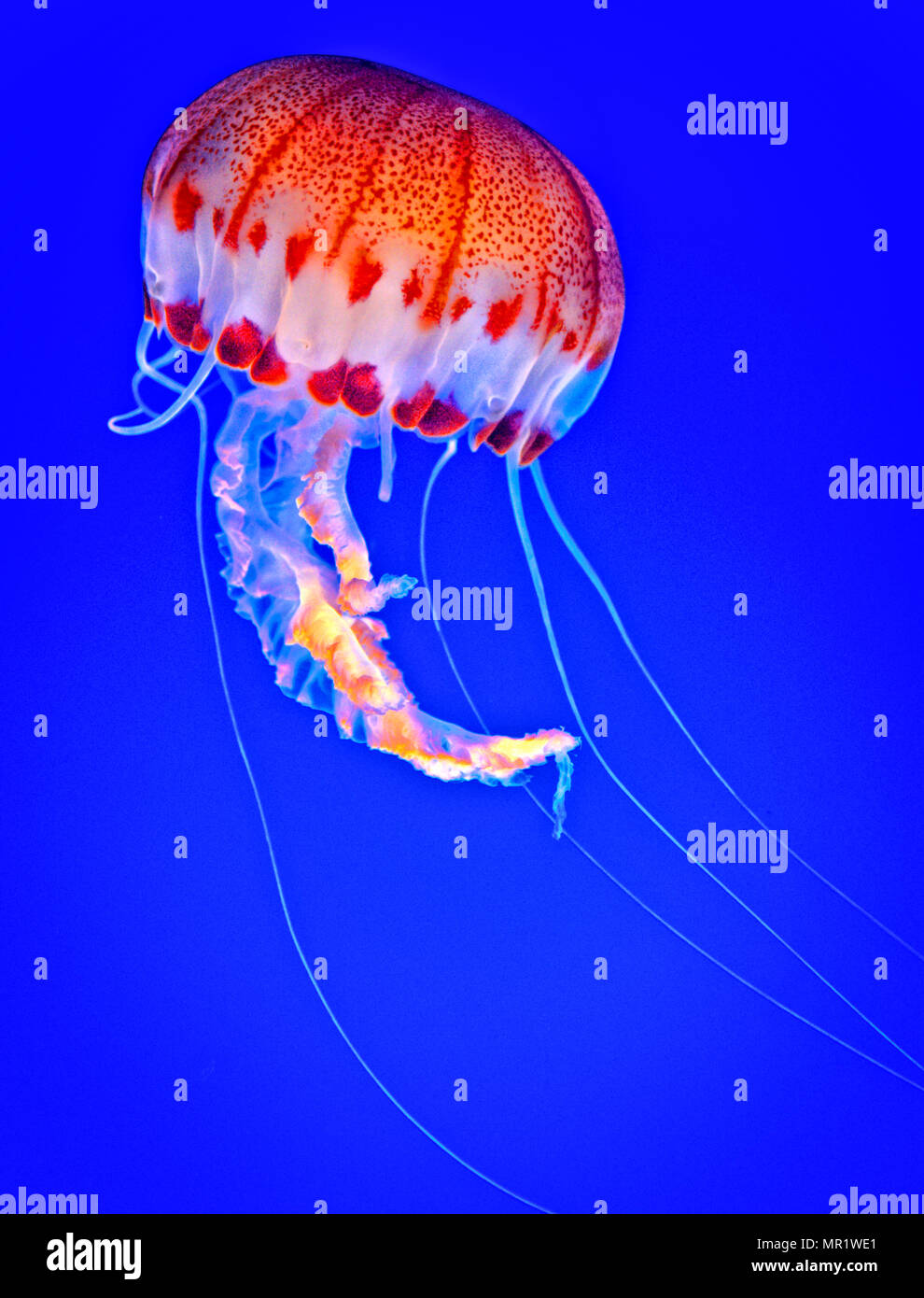 A striking jellyfish (Chrysaora colorata) at the Monterey Bay Aquarium, CA - Stock Image