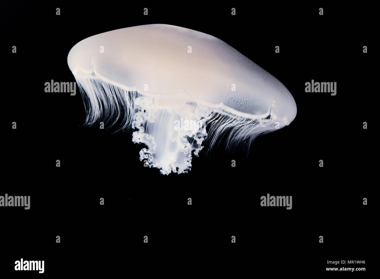 Moon jelly (Aurelia labiata) - Stock Image