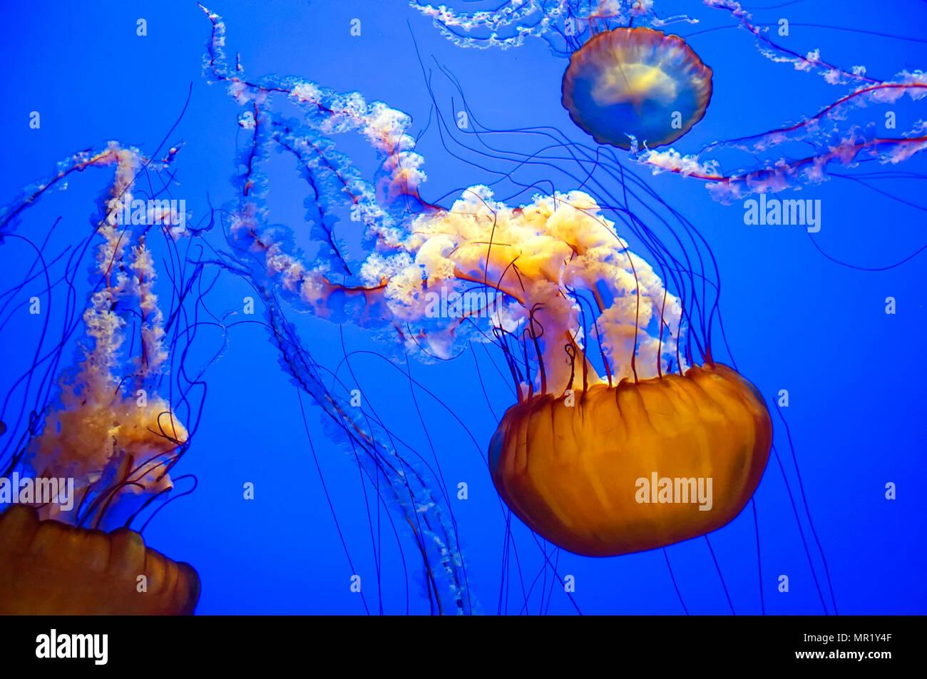 Purple Striped Jellyfish (Chrysaora colorata) - Stock Image