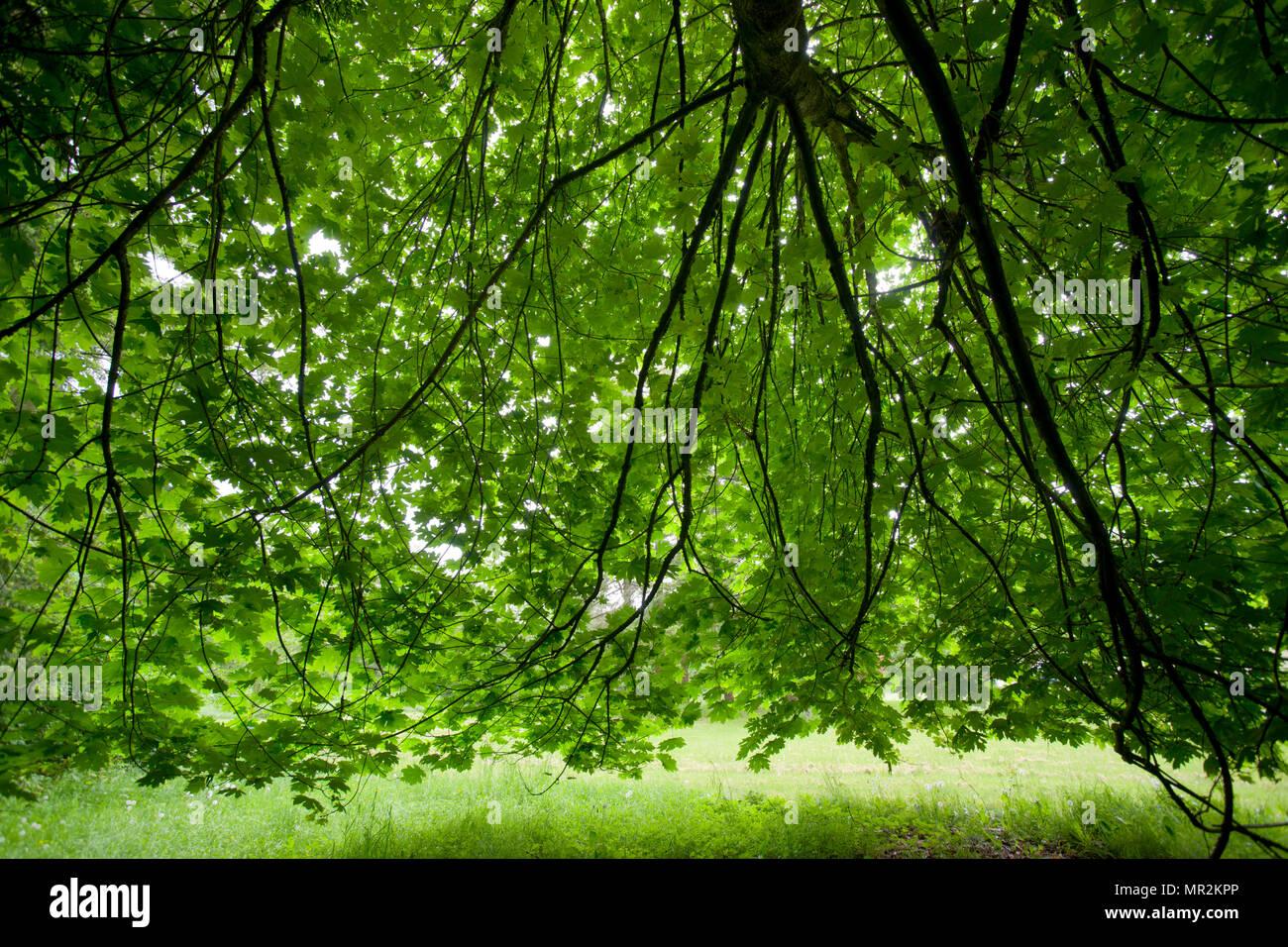 Acer Macrophyllum Bigleaf Maple Stock Photo 186300206 Alamy