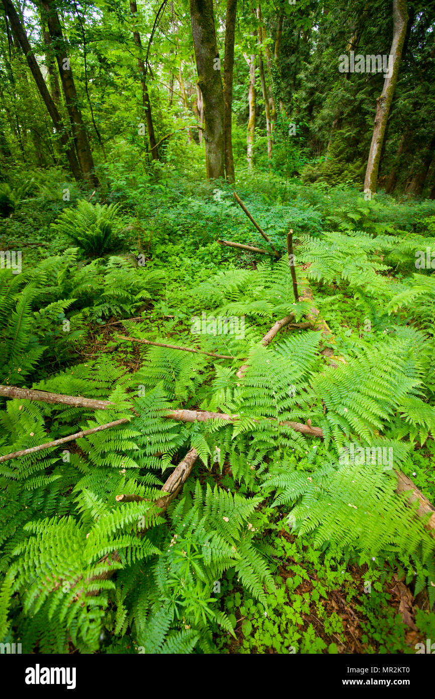 Pacific Northwest Temperate Rain Forest - Stock Image