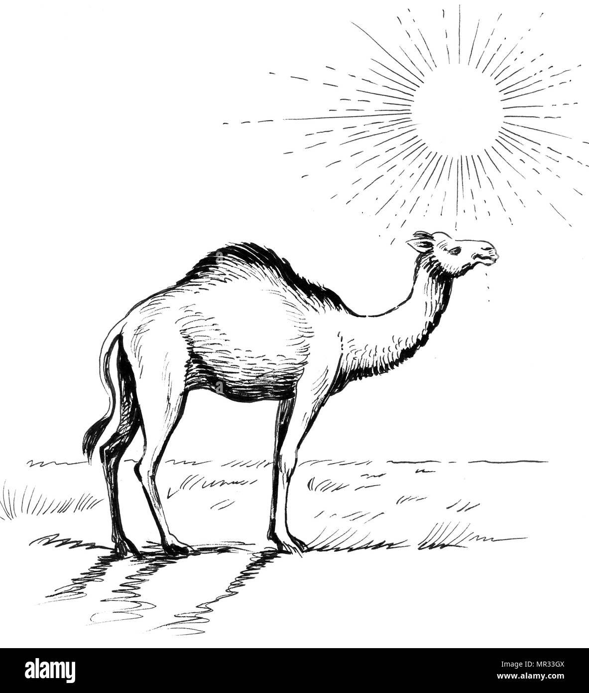 Camel in the desert  Ink black and white illustration Stock