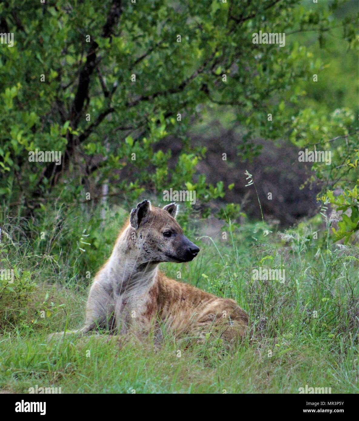 Hyena, Kruger National Park, South Africa - Stock Image