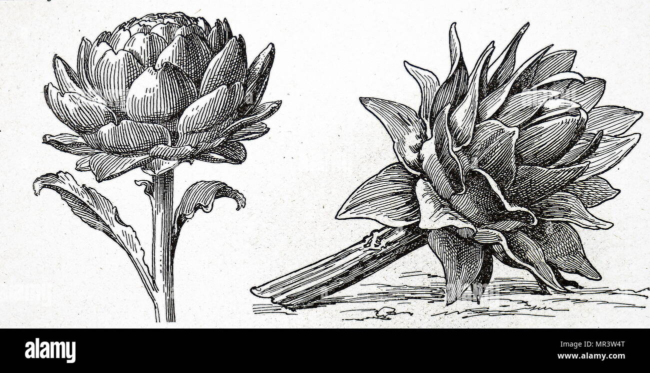 Illustration depicting artichokes. The globe artichoke is a variety of a species of thistle cultivated as a food. The edible portion of the plant consists of the flower buds before the flowers come into bloom. Dated 20th century - Stock Image