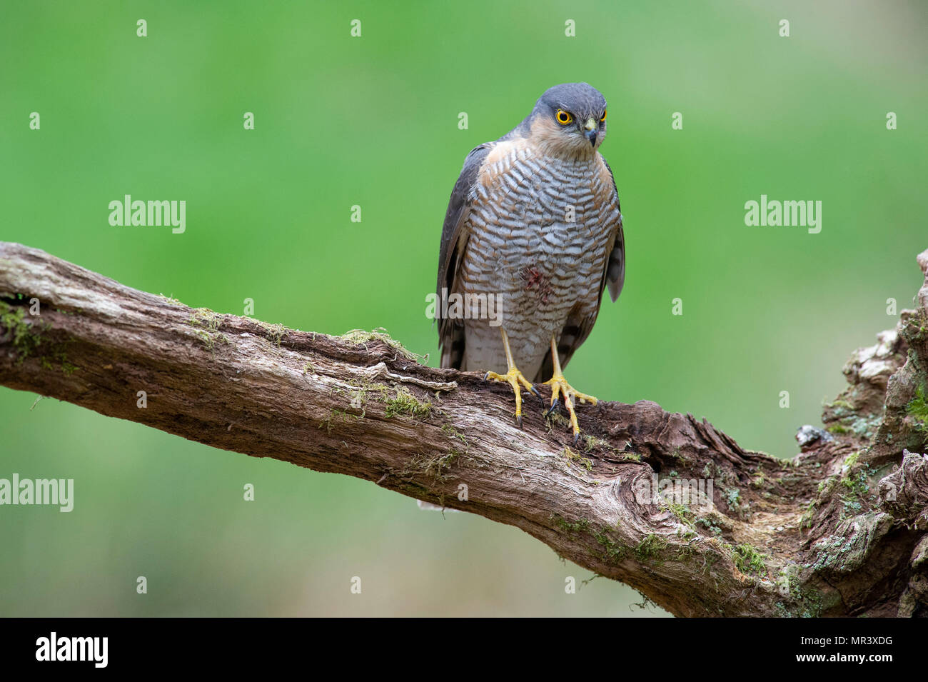 A female Sparrowhawk (Accipiter nisus) perched on a branch in British woodland. Stock Photo