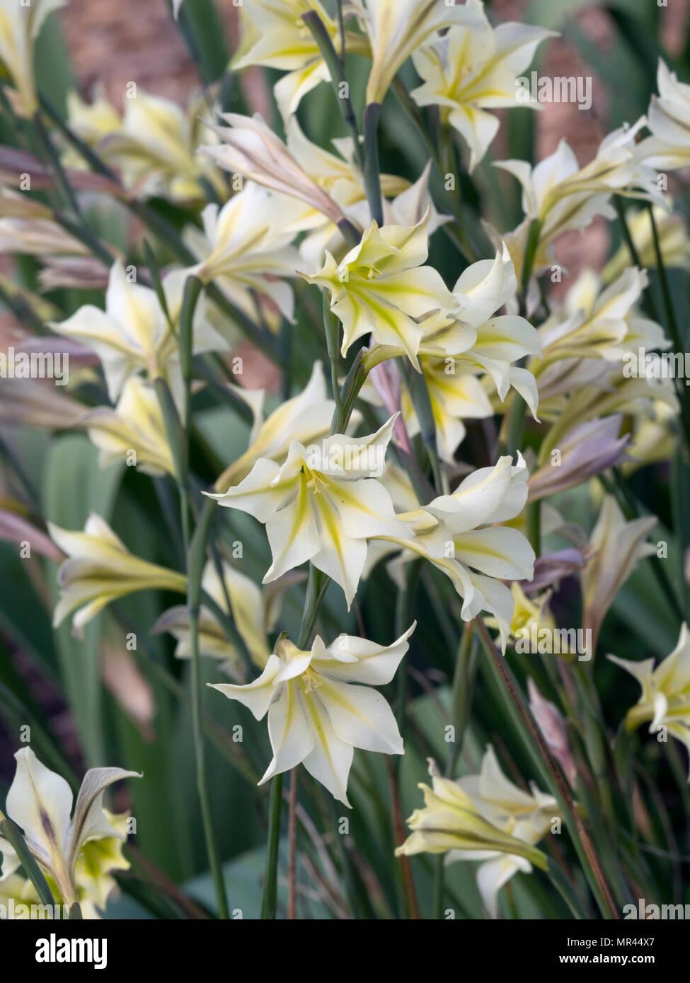 Gladiolus tristis in summer border - Stock Image
