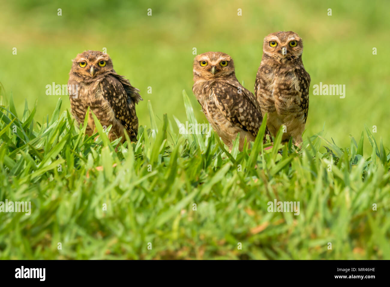 the awesome Burrowing owl near Foz de Iguazu. i discovered these guys while passing with a car. got back there the next morning and was able to take t - Stock Image