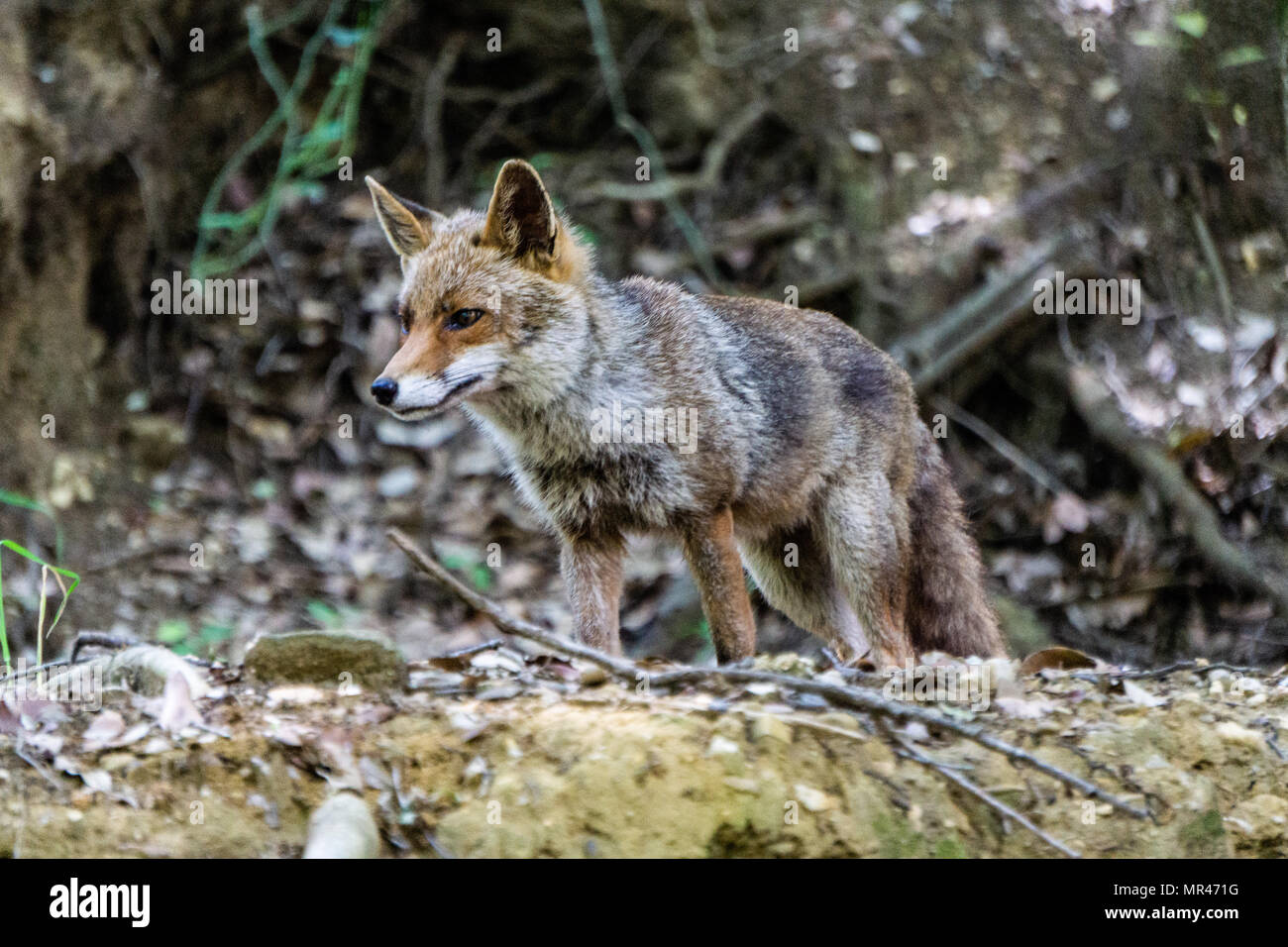 The fox close the pellicone lake. I saw here and in that day I had the zoom tele with me and i took the picture sooner - Stock Image