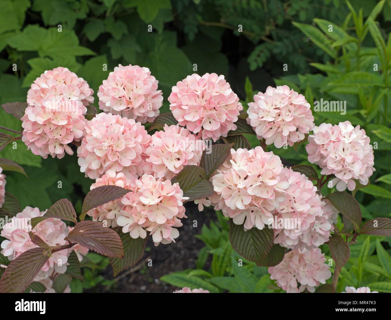 Viburnum plicatum Rosacea in flower Stock Photo