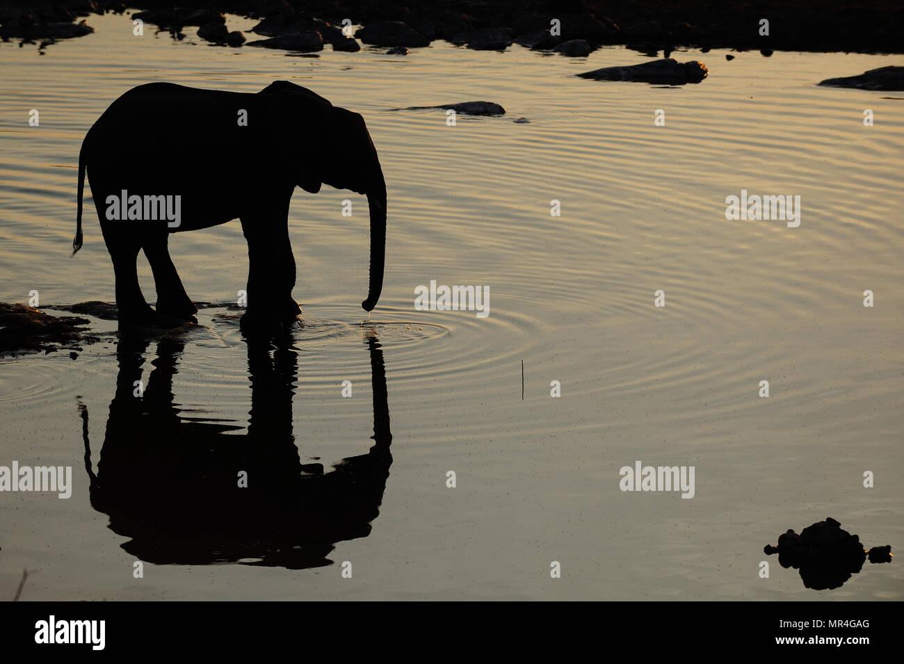 African elephant  at a waterhole with reflection, etosha nationalpark, namibia, (loxodonta africana) - Stock Image