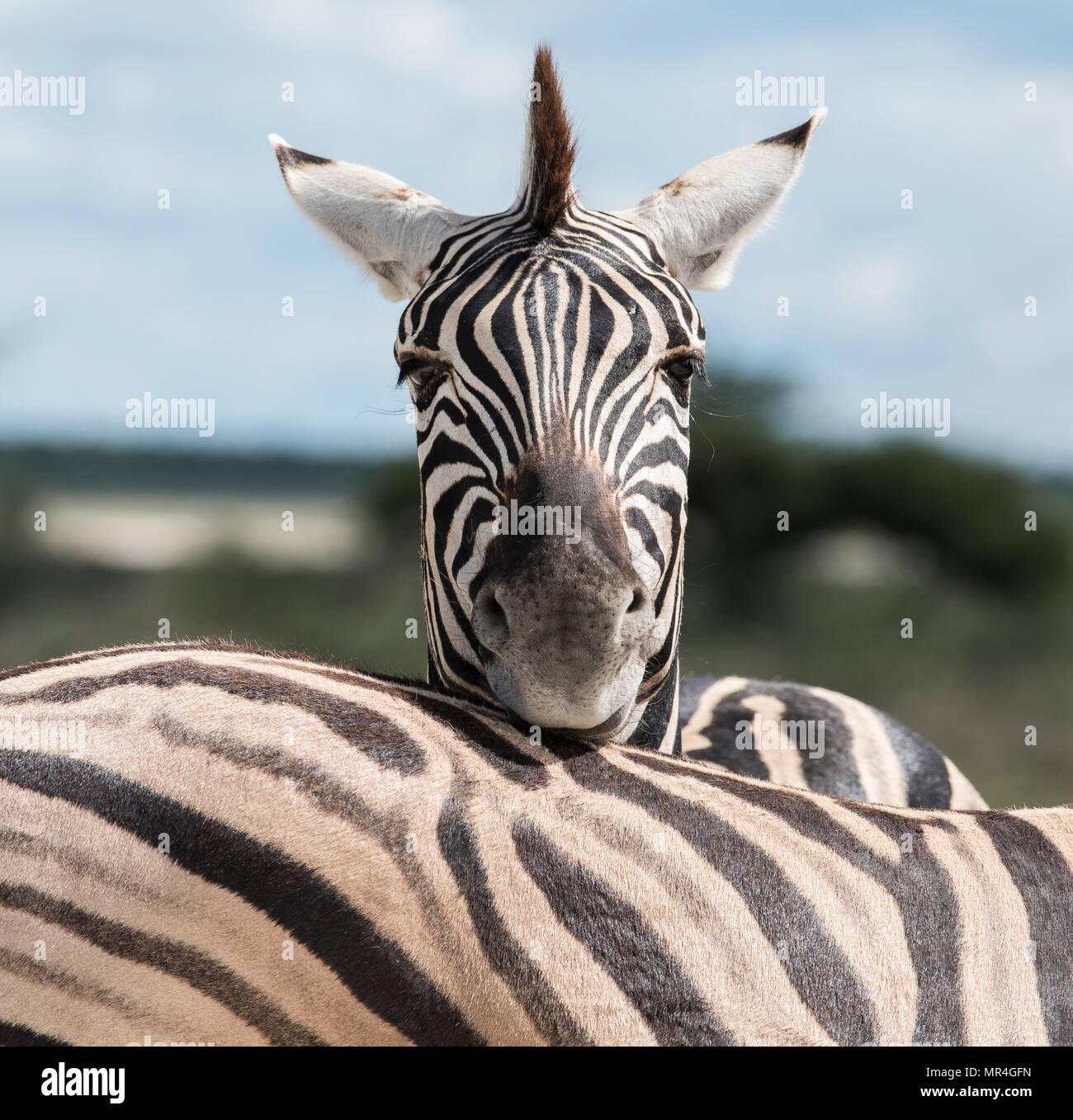 Plains Zebra Seen at Etosha National Park, Namibia - Stock Image