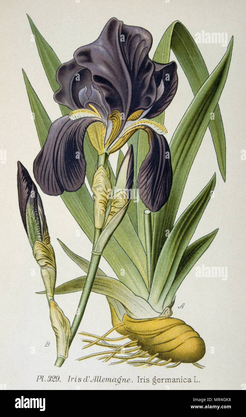 The German Iris flower. From the Atlas des plantes 1793 - Stock Image