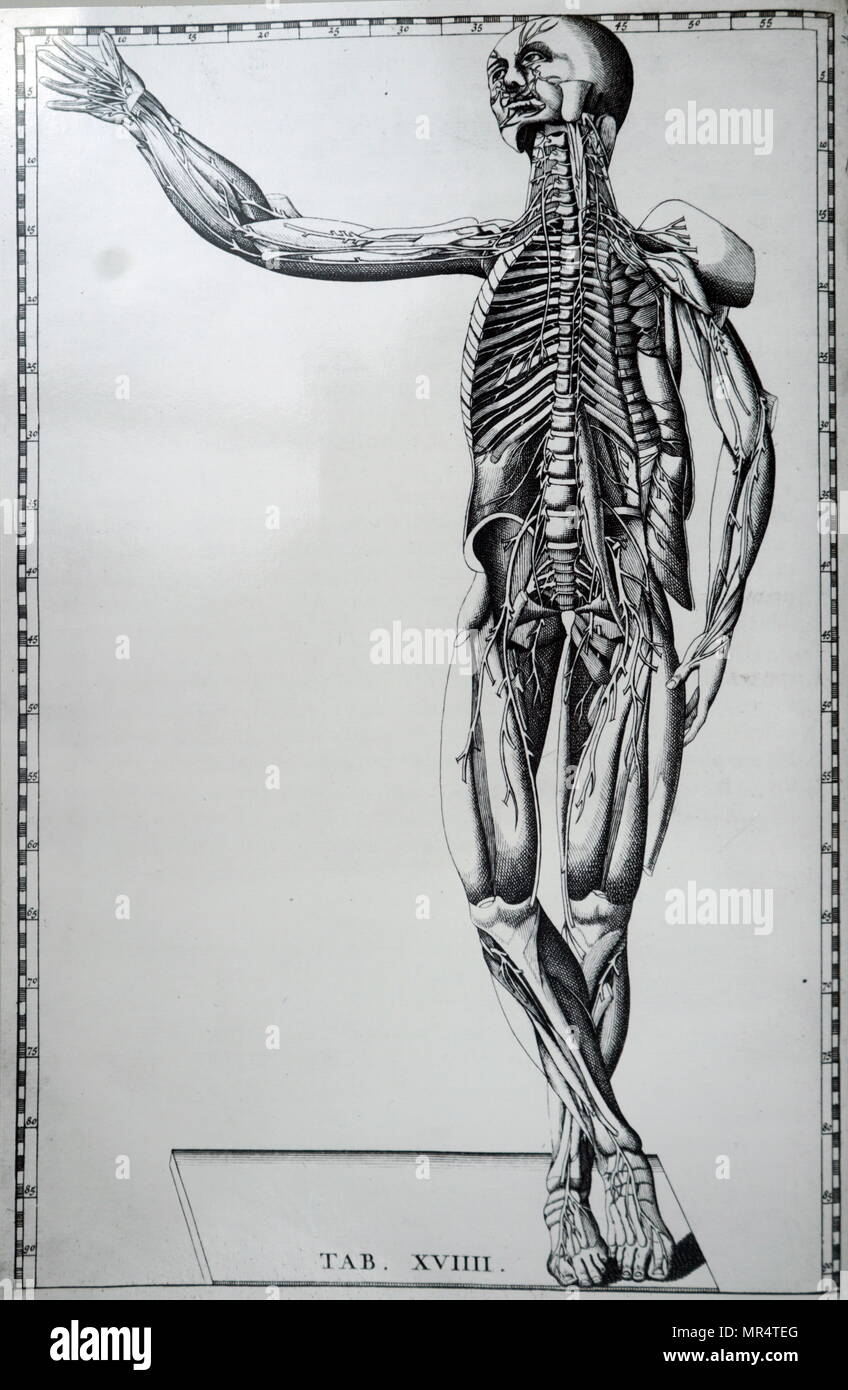 Print Of A Human Skeleton And Nervous System By Bartolomeo Eustachi