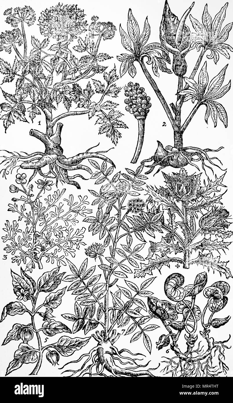 """Engraving depicting Norwegian angelica, commonly known as garden angelica, wild celery, and Angelica archangelica, is a biennial plant from the Apiaceae family, a subspecies of which is cultivated for its sweetly scented edible stems and roots. From John Parkinson's """"Paradisi in Sole Paradisus Terrestris"""". John Parkinson (1567-1650) an English herbalist and botanist. Dated 17th century Stock Photo"""