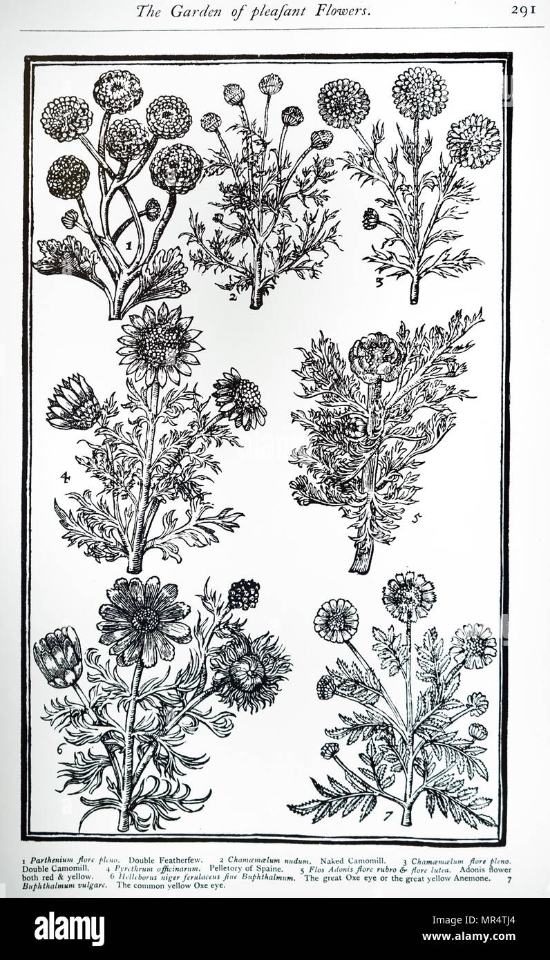 Plate showing feverfew from john parkinsons paradisi in sole tanacetum parthenium feverfew is a flowering plant in the daisy family asteraceae it is a traditional medicinal herb which is commonly izmirmasajfo