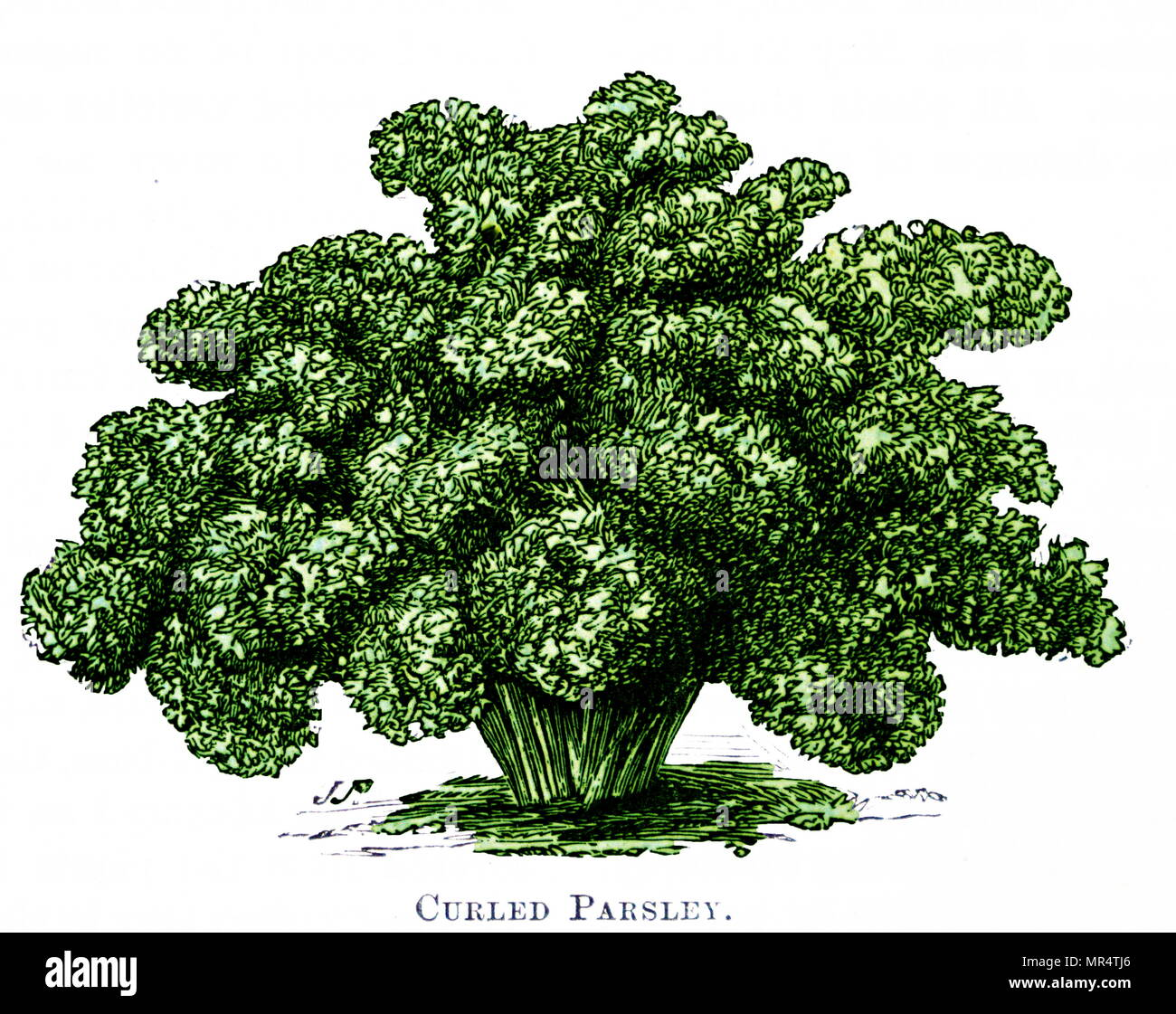 Illustration of French curled Parsley. 19th century gardening book. 1893 - Stock Image