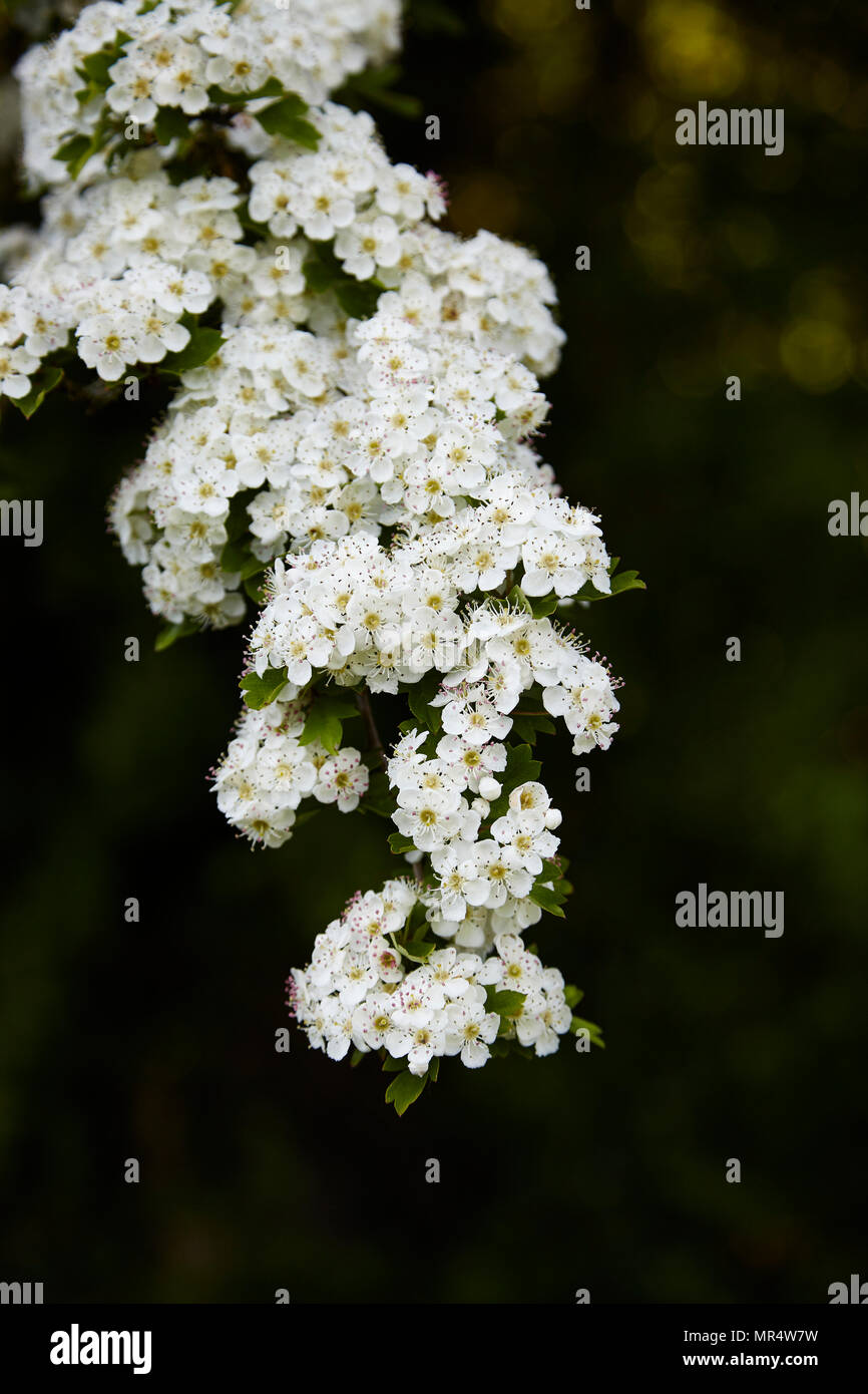 A branch of a Hawthorn tree in a garden hedge - Stock Image