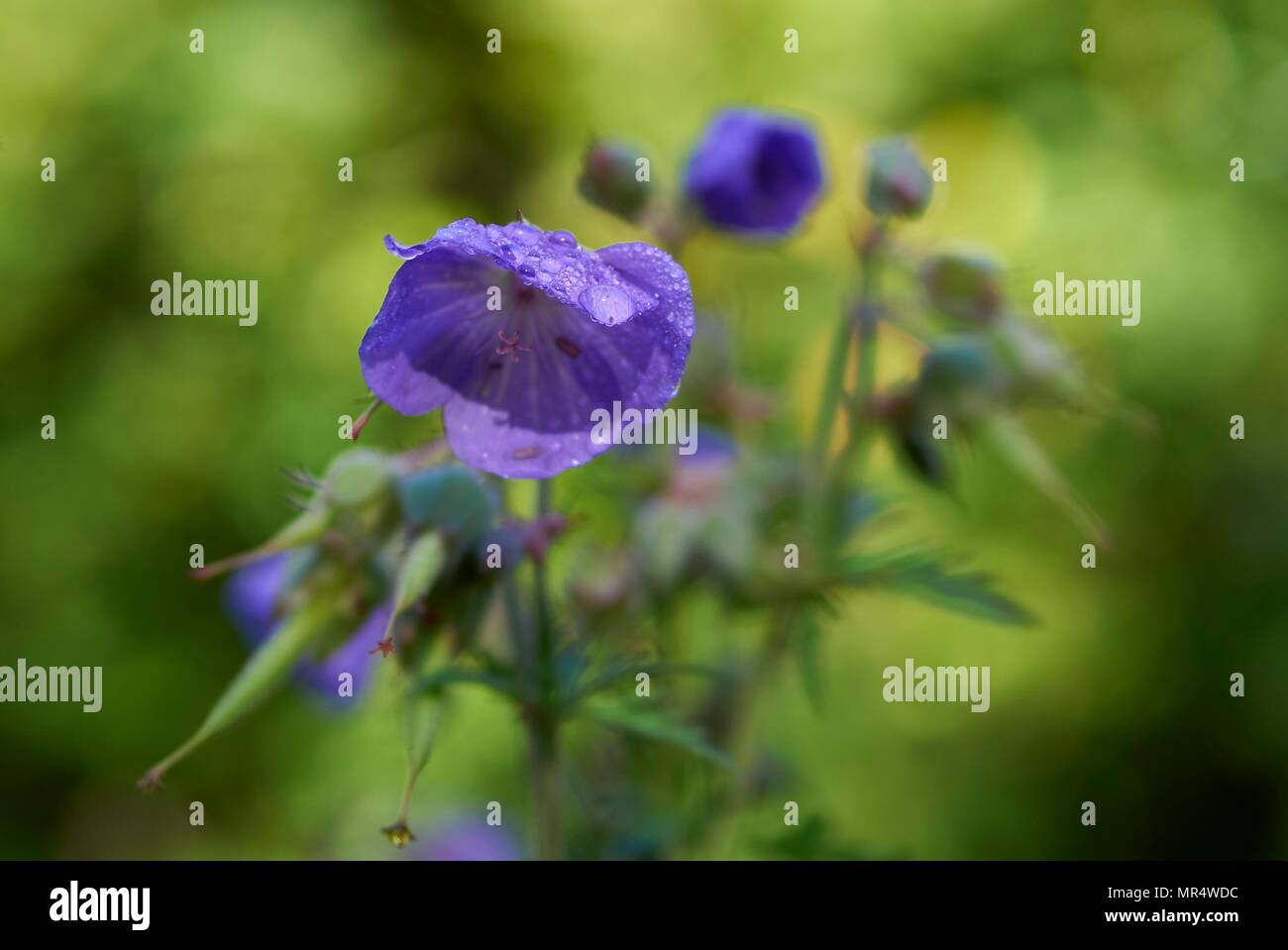 meadow crane's-bill, Geranium pratense, on the banks of the River Severn in Shropshire, England, UK - Stock Image