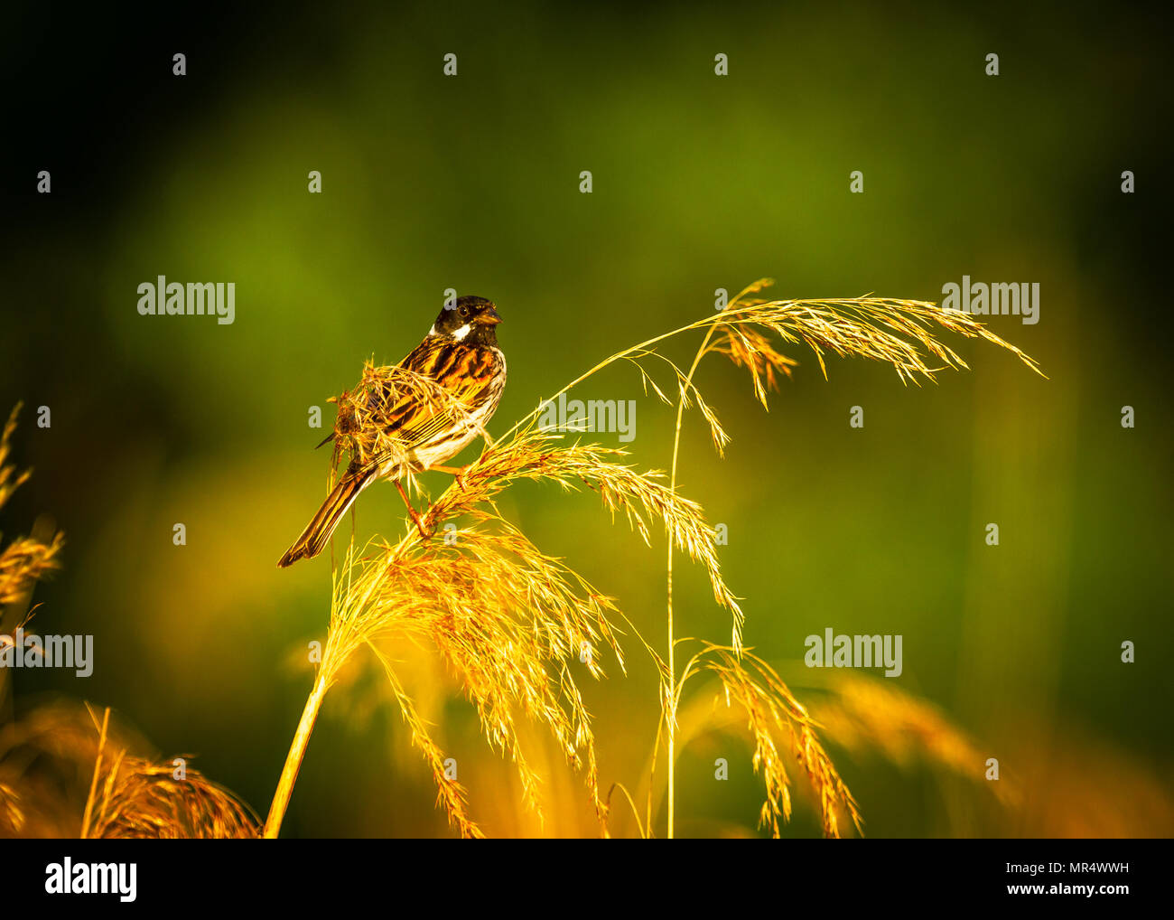 Male Reed Bunting in the Cheshire evening sunshine - Stock Image