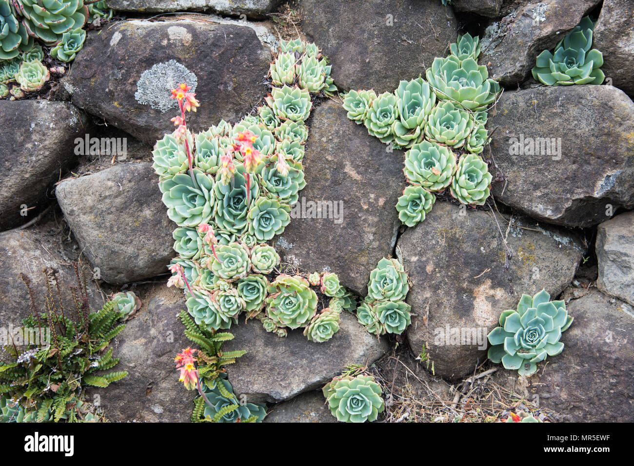 Succulent Plants Growing In Outdoor Rock Wall With Delicate Rosette Pattern Stock Photo Alamy
