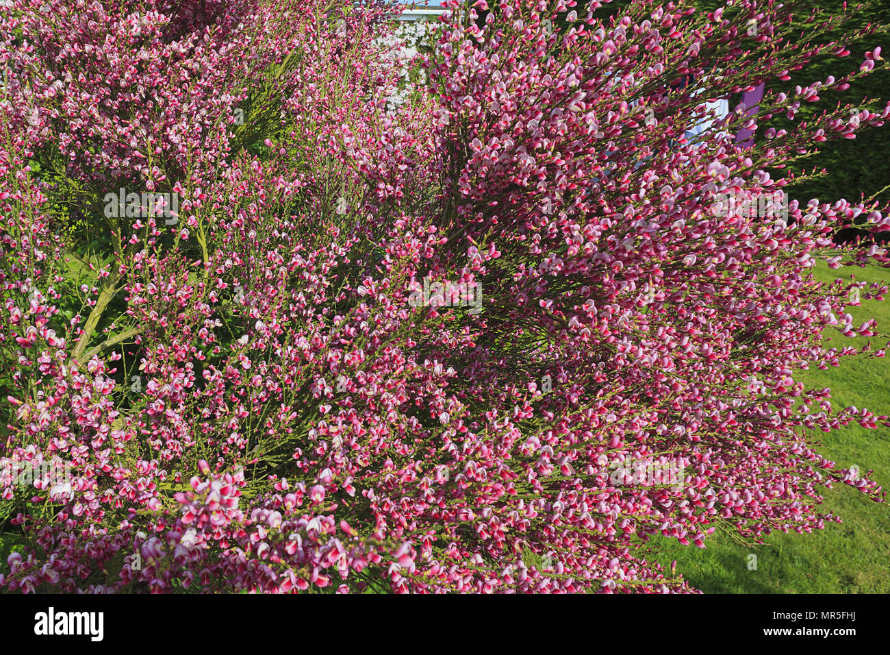 Cytisus (Broom) in bloom - Stock Image