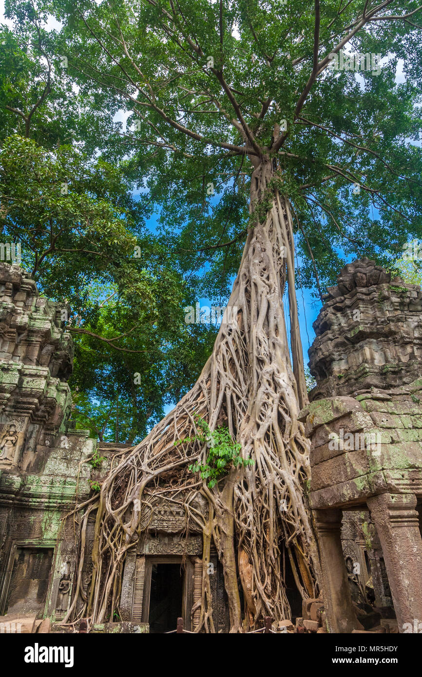 An impressive strangler fig with its massive roots has overtaken a part of the temple ruins in Ta Prohm (Rajavihara) at Angkor in Cambodia. - Stock Image