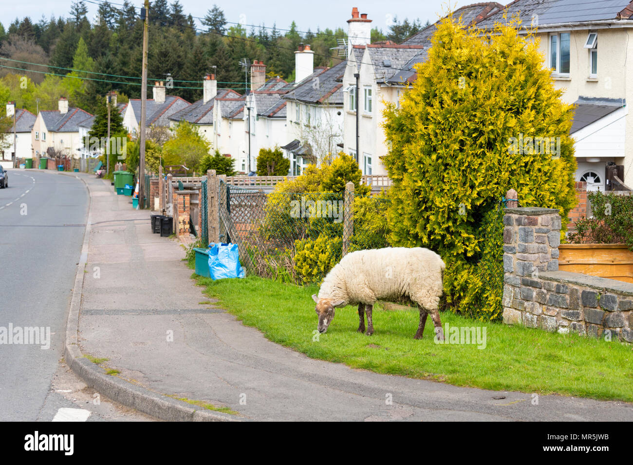 Free roaming sheep in the Forest of Dean at Bream, Gloucestershire UK - Stock Image