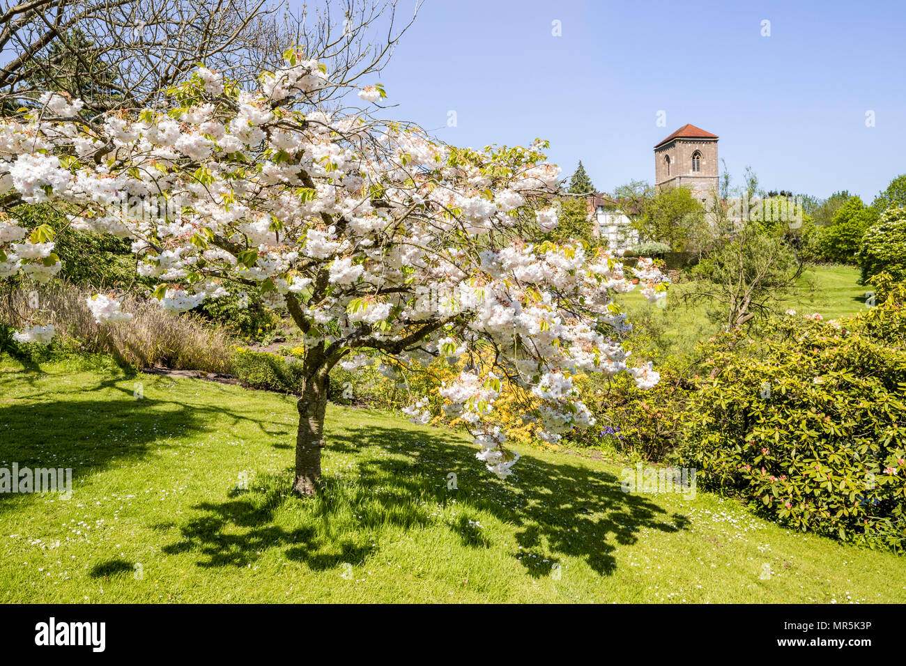 Cherry blossom in the gardens of Little Malvern Court a 15th century Priors Hall at Little Malvern, Worcestershire UK - Stock Image